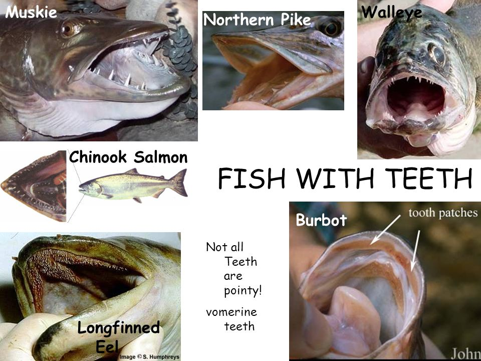 Welcome to ecology of fishes laboratory zoology ppt video for Muskie fish teeth