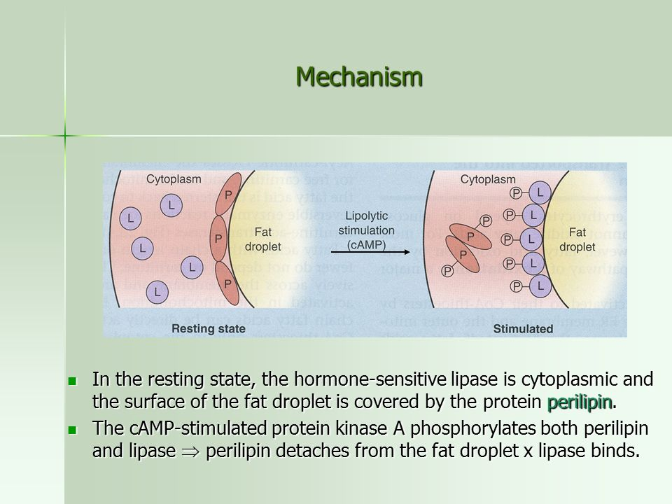 Mechanism In the resting state, the hormone-sensitive lipase is cytoplasmic and the surface of the fat droplet is covered by the protein perilipin.
