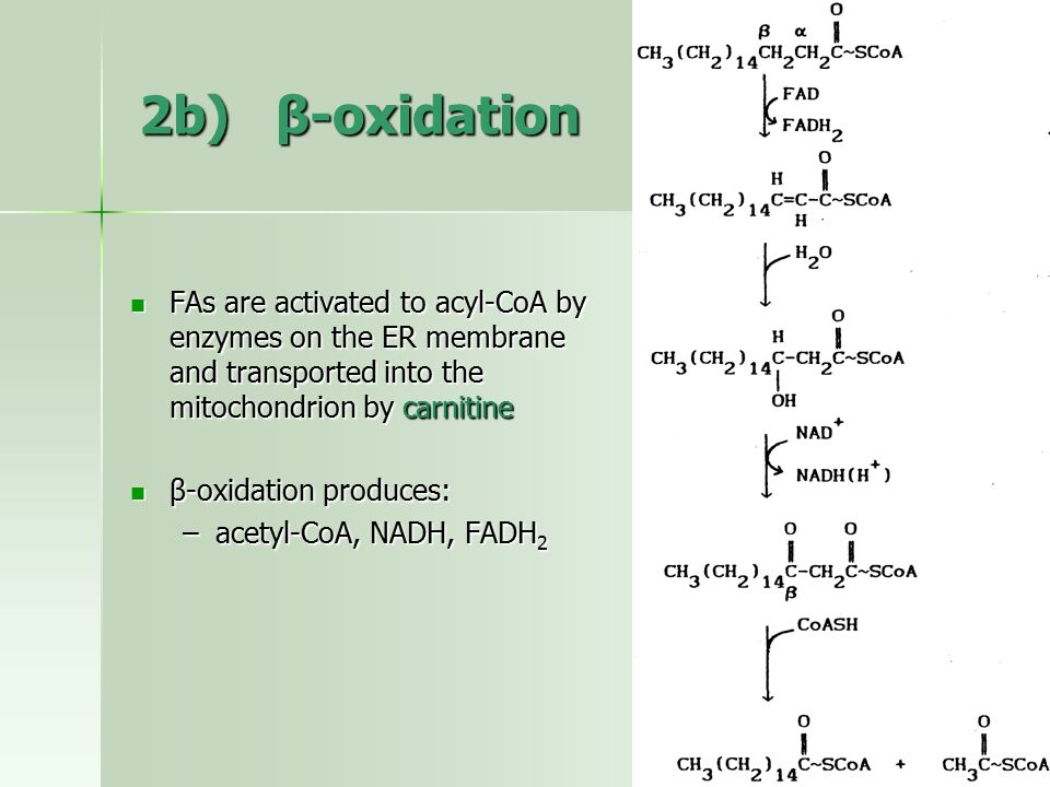 2b) β-oxidation FAs are activated to acyl-CoA by enzymes on the ER membrane and transported into the mitochondrion by carnitine.