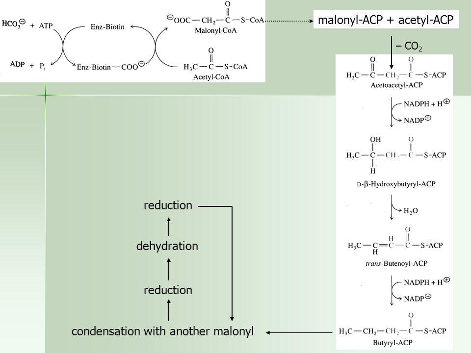 malonyl-ACP + acetyl-ACP