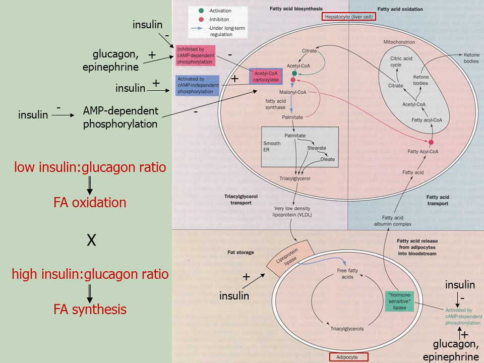 X low insulin:glucagon ratio FA oxidation high insulin:glucagon ratio