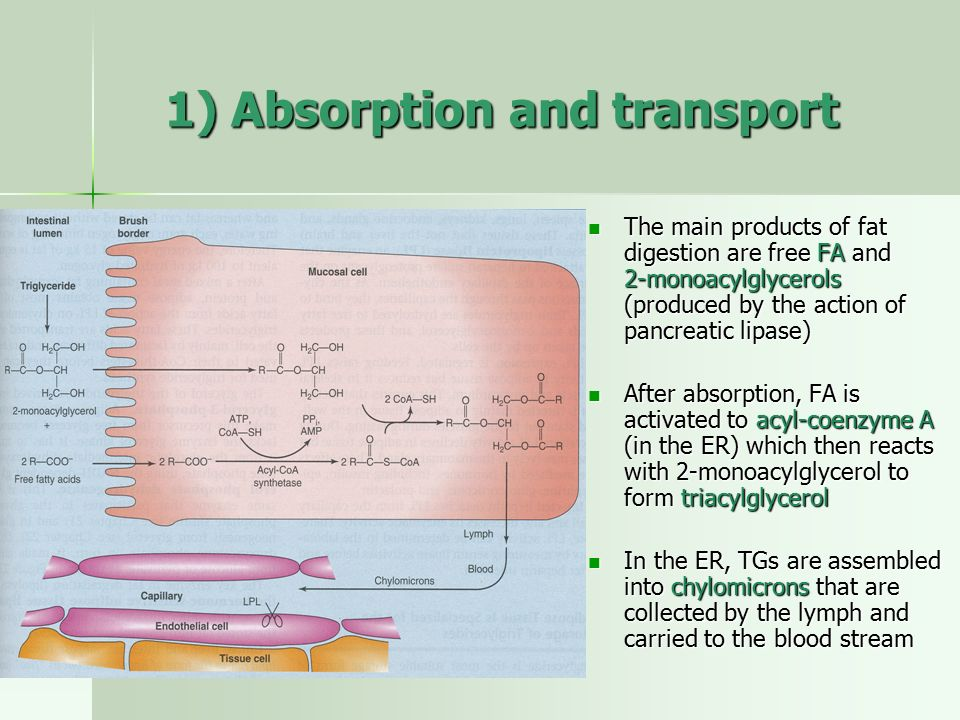 1) Absorption and transport