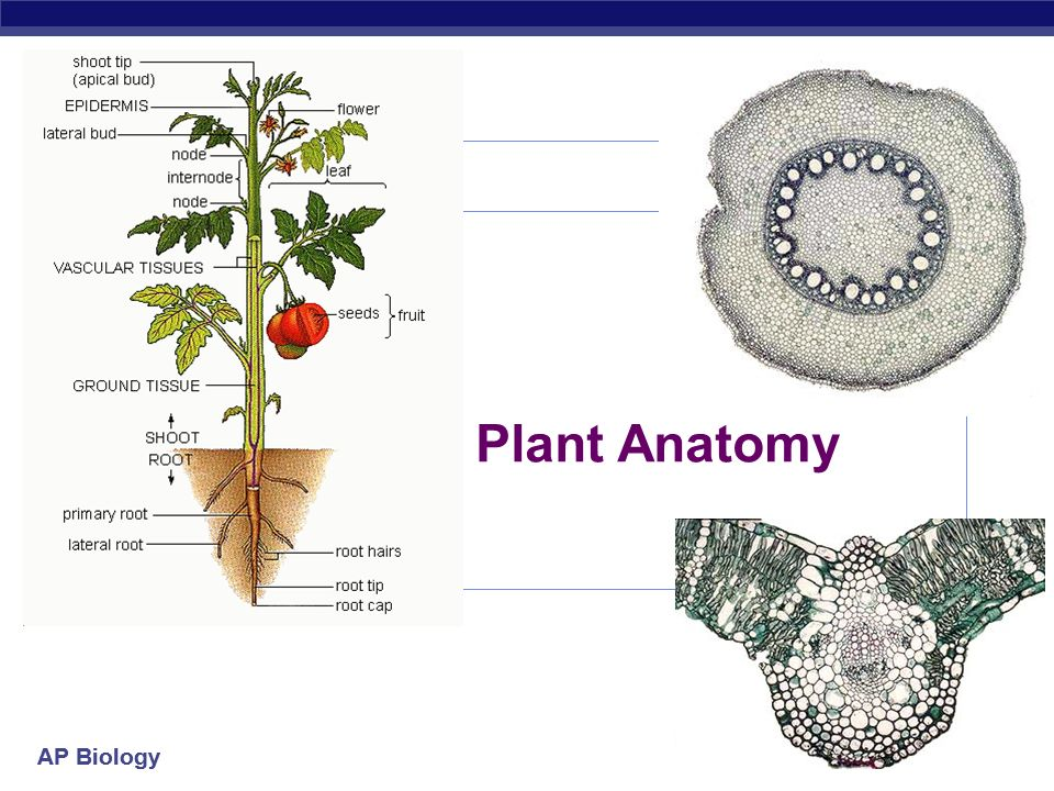 Perfect Plant Anatomy And Morphology Ensign Anatomy And Physiology