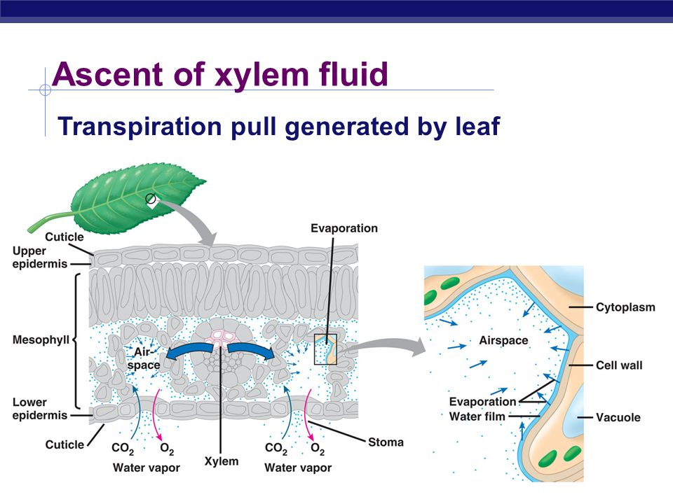 the transpiration process of materials in the xylem and phloem Like the vascular system in people, the xylem and phloem tissues extend  throughout the plant  transpiration is the process of water evaporation through   water and other materials necessary for biological activity in trees.
