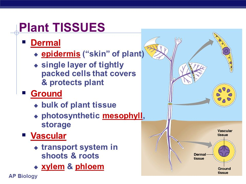 Plant Anatomy Ppt Video Online Download
