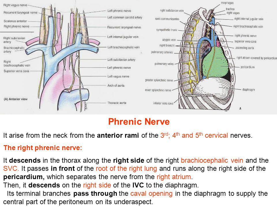 Phrenic Nerve It Arise From The Neck From The Anterior Rami Of The