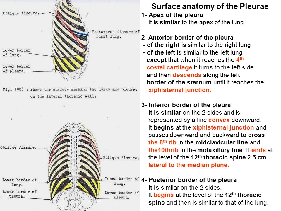 Surface Anatomy Of Lungs And Pleura