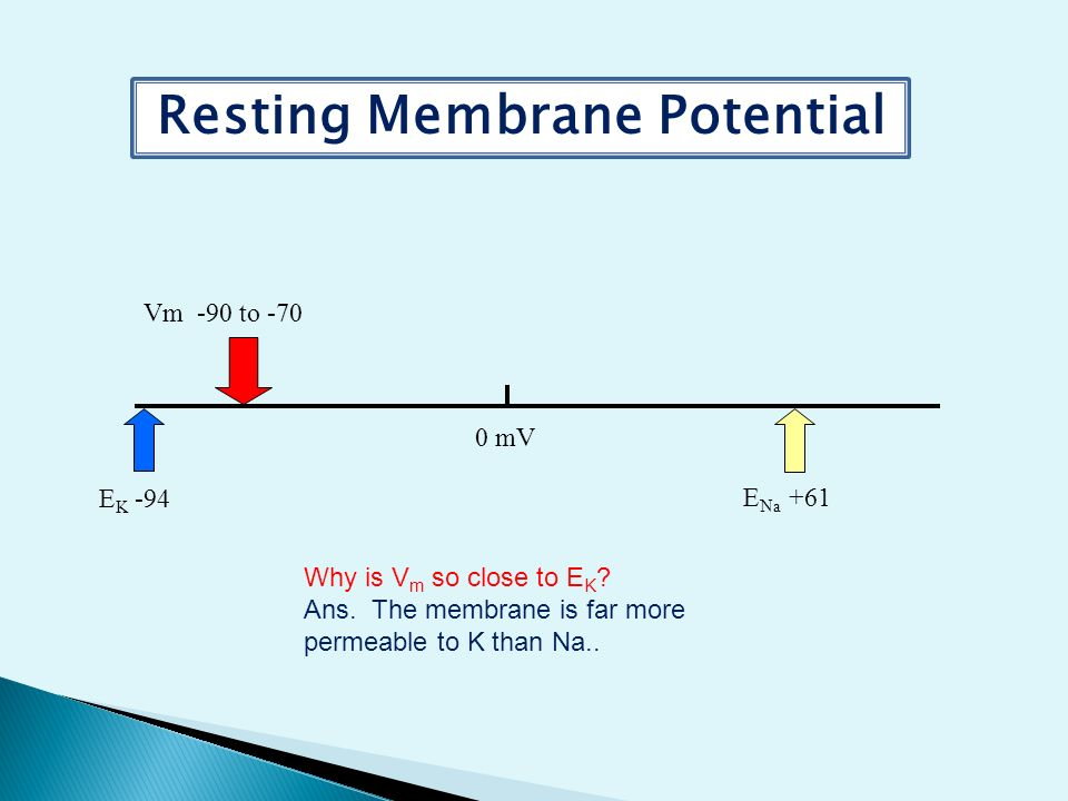 resting membrane potentials Follow the direction in the lower right, black box for each of the resting membrane potential (rmp) animations below how do ions affect membrane potential.