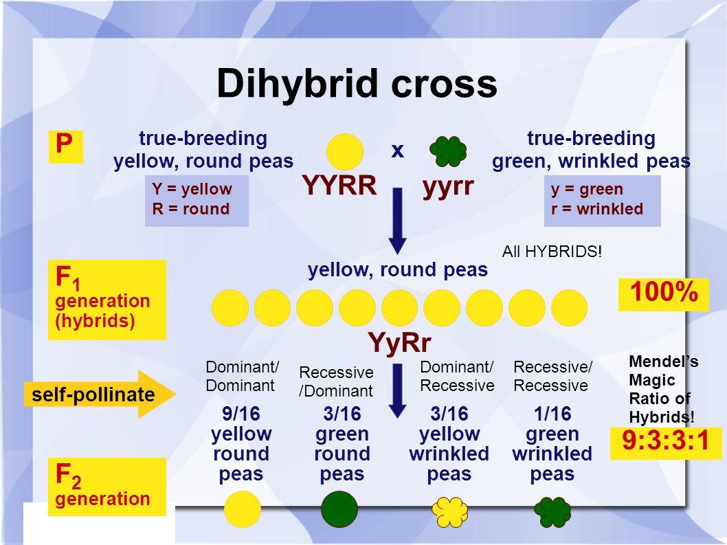 Two Trait Crosses: The Dihybrid Cross - ppt video online ...