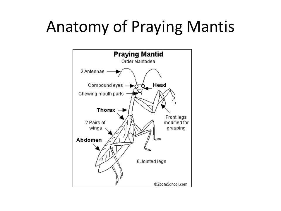 Anatomy of praying mantis