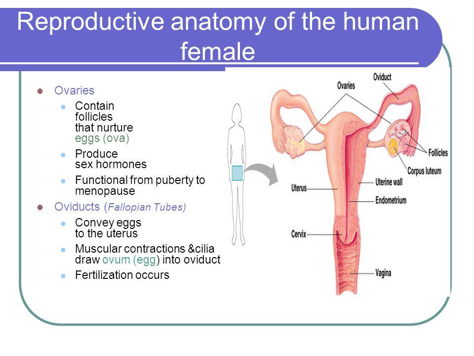 Reproductive anatomy female