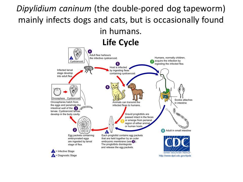 Dog life cycle