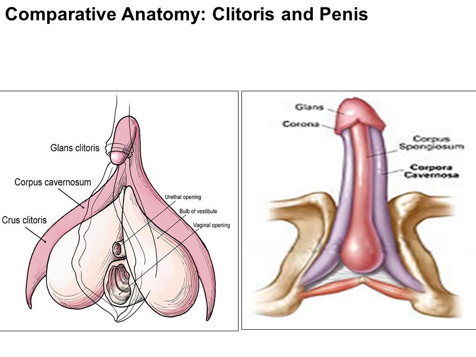 Female genitalia double clitoris