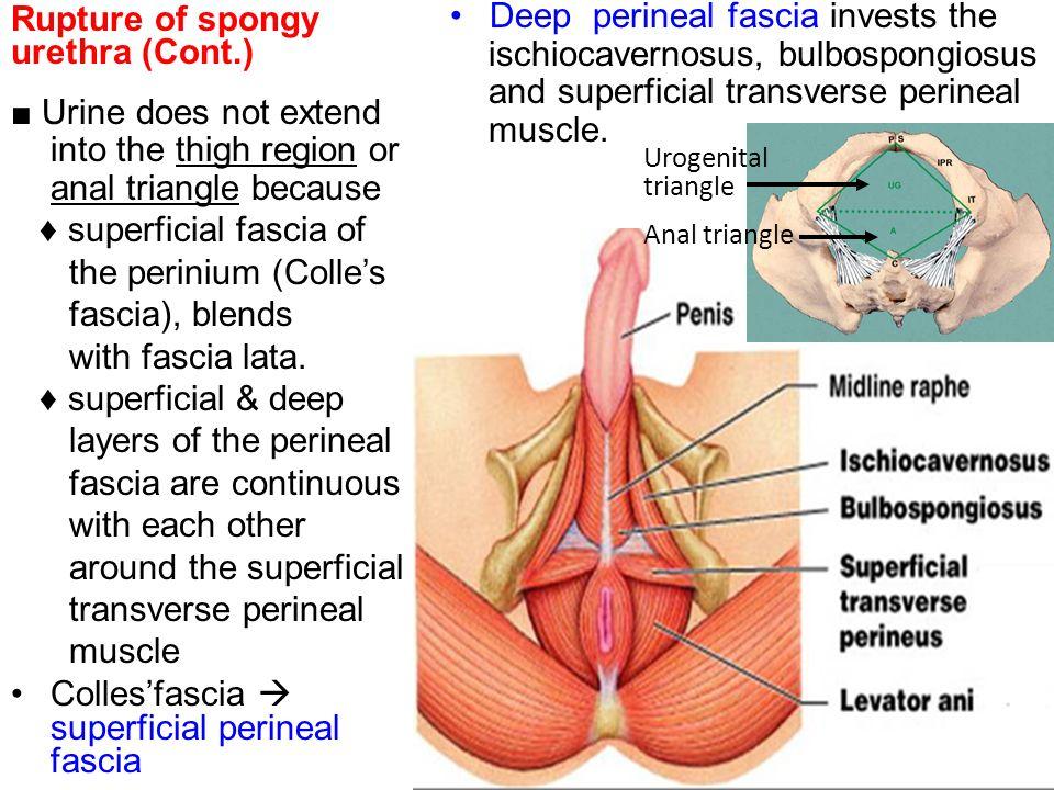 Spongy Urethra | tenderness.co