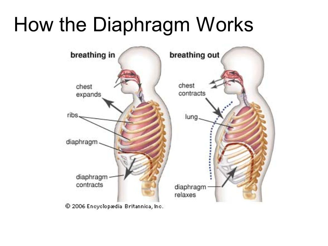 How The Diaphragm Works Mersnoforum
