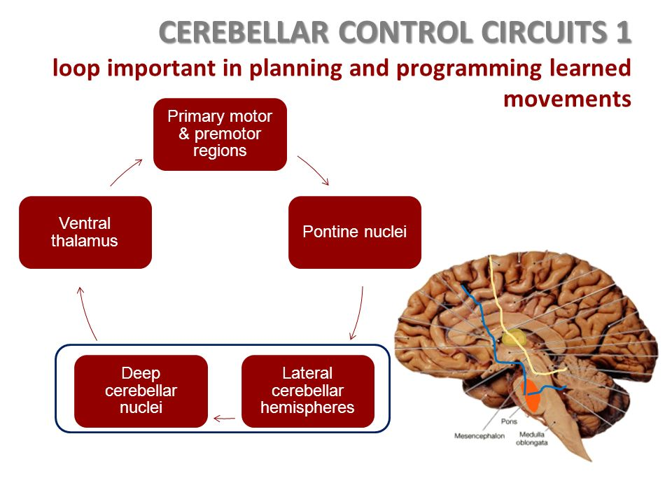 Control circuits integrate and control the activities of for What is motor planning