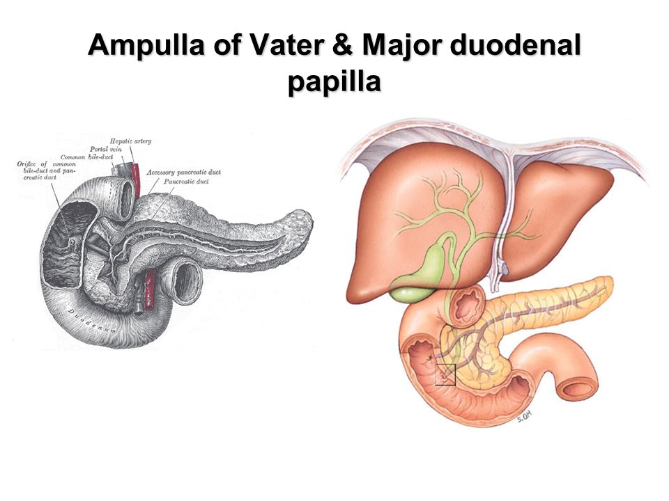 Anatomy of ampulla of vater 8662210 - follow4more.info