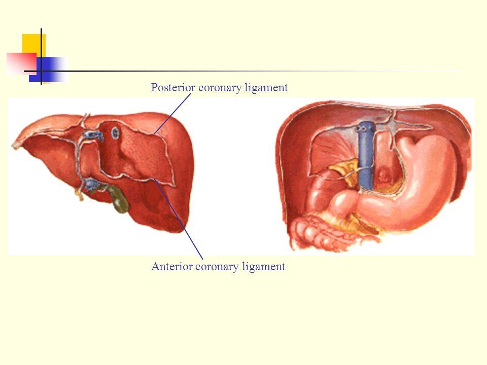 Peritoneum 广西医科大学人体解剖学教研室 April ppt download