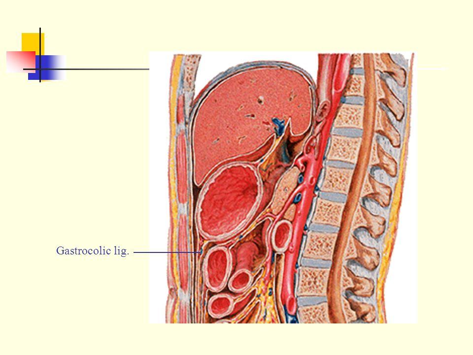Peritoneum 广西医科大学人体解剖学教研室 April ppt download Gastrocolic Ligament