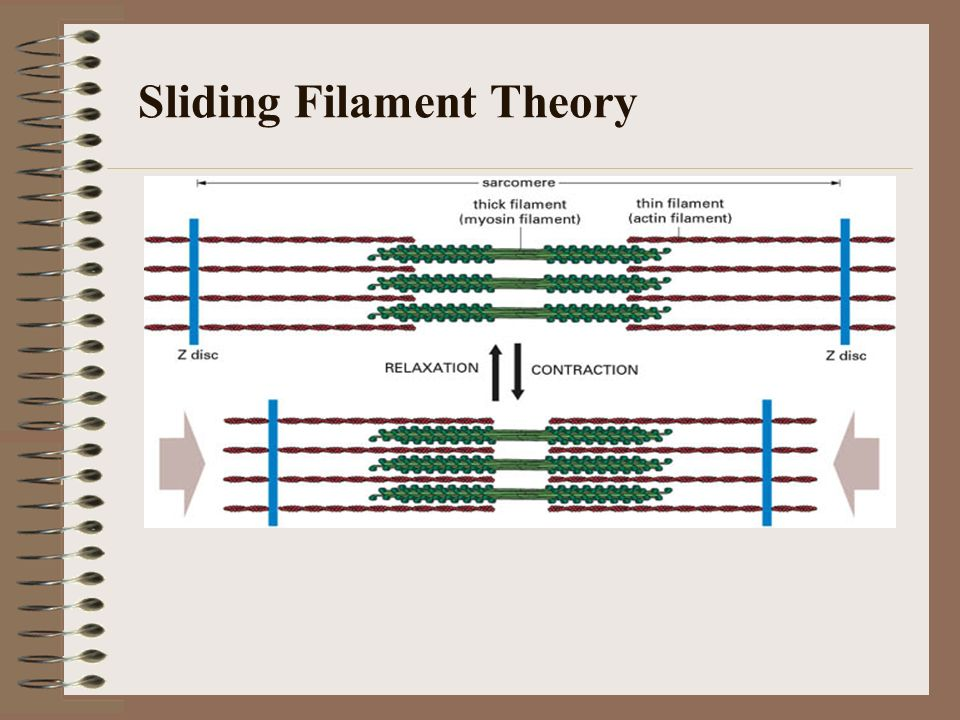 the sliding filament theory Sliding filament theory myosin crossbridges (small bridges on the thick filaments that extend to the thin filaments): -attach, rotate, detach, and reattach in rapid succession -results in the sliding or overlap of the actin and myosin filaments-causes sarcomeres to contract (muscle contraction) -known as the sliding filament theory role of.