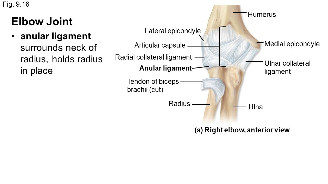 Ulnar Collateral Ligament Of Elbow Joint Wikipedia Oukasfo