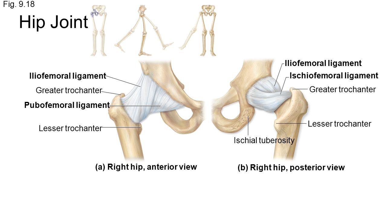 Ausgezeichnet Ischiofemorale Bänder Bilder - Menschliche Anatomie ...