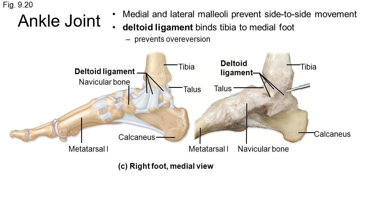 Ankle joint ligaments anatomy 4653320 - follow4more.info