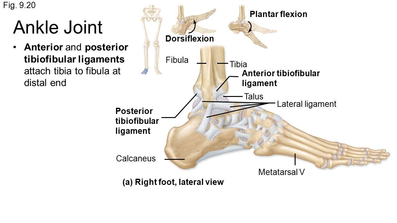 Niedlich Distal Fibula Picture Fotos - Menschliche Anatomie Bilder ...