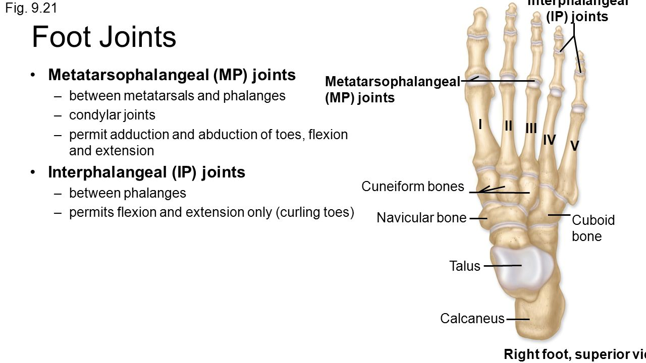 synovial joints p4 ip Between heads of middle phalanges and bsaes of respective distal phalanges synovial hinge joints uniaxial (flexion/extension) interphalangeal (ip) joint of thumb between head of proximal phalanx and base of distal phalanx synovial hinge joint uniaxial (flexion/extension.