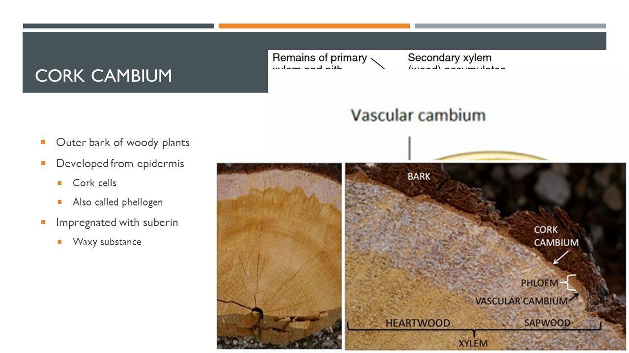 overview of cork cambium essay