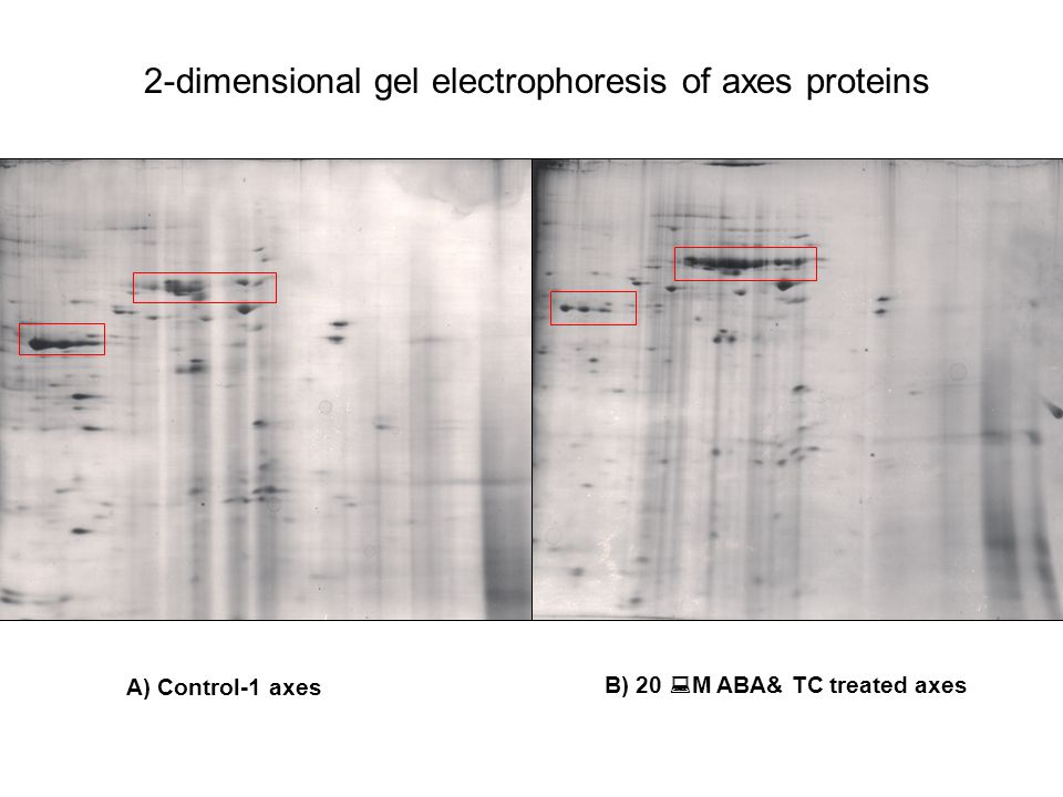 2-dimensional gel electrophoresis of axes proteins