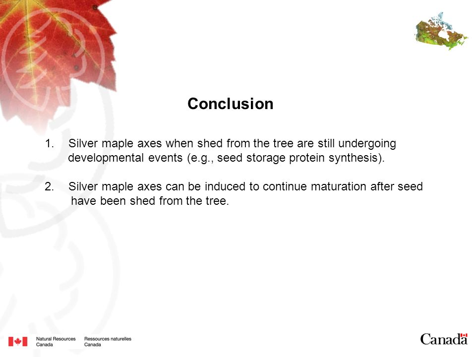 Conclusion Silver maple axes when shed from the tree are still undergoing. developmental events (e.g., seed storage protein synthesis).