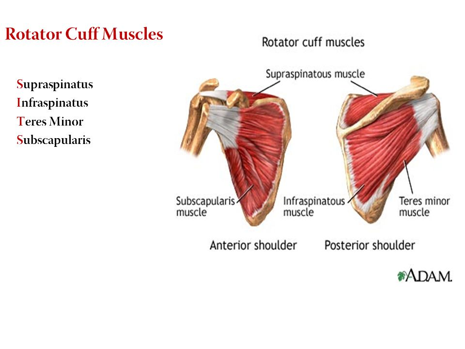 Anatomy Of Shoulder Joint Ppt Gallery - human body anatomy