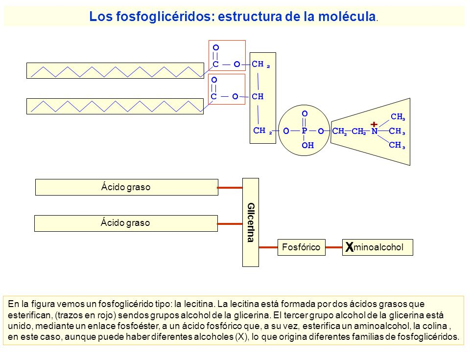 Los fosfoglicéridos: estructura de la molécula.