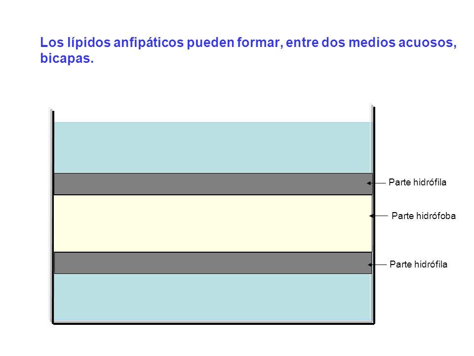 Los lípidos anfipáticos pueden formar, entre dos medios acuosos, bicapas.