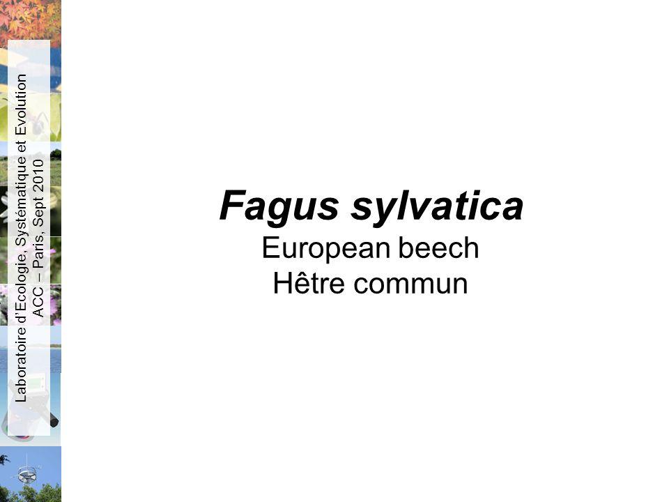 Fagus sylvatica European beech Hêtre commun