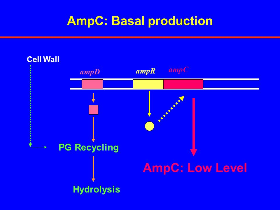 AmpC: Basal production