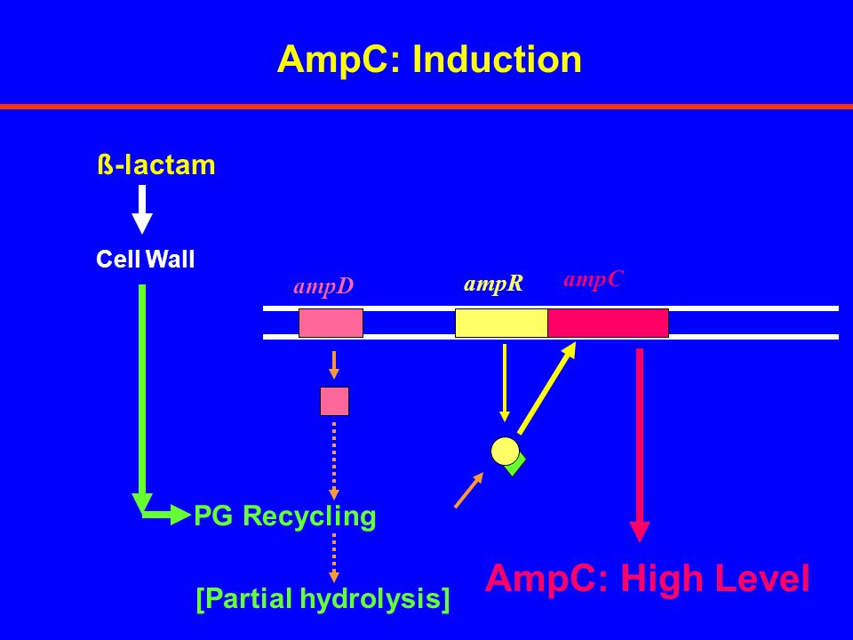 AmpC: Induction AmpC: High Level ß-lactam PG Recycling