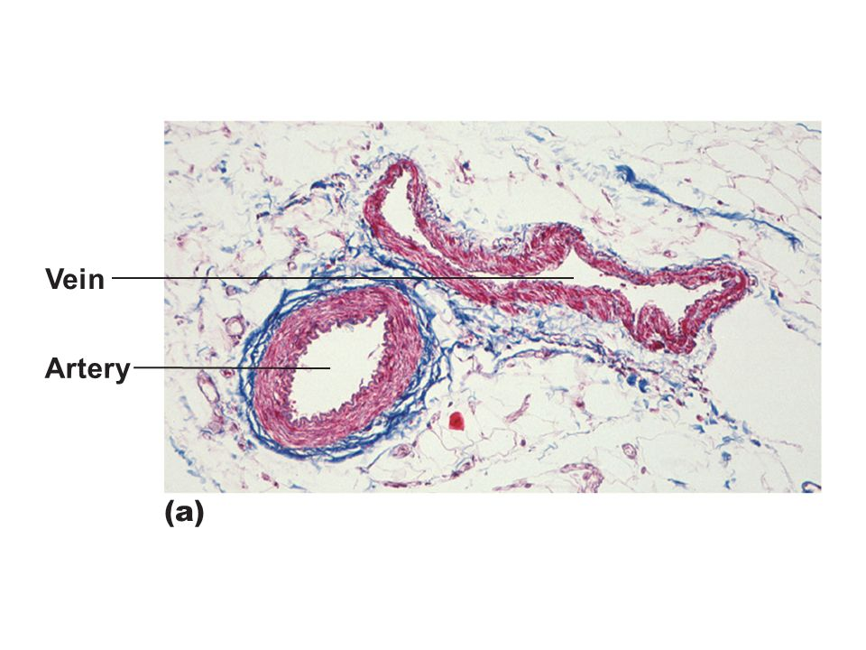 Figure 191a Generalized Structure Of Arteries Veins And
