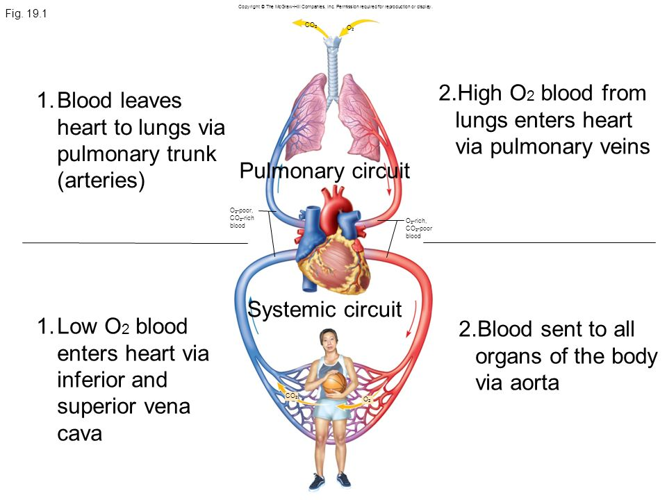 High O2 blood from lungs enters heart via pulmonary veins