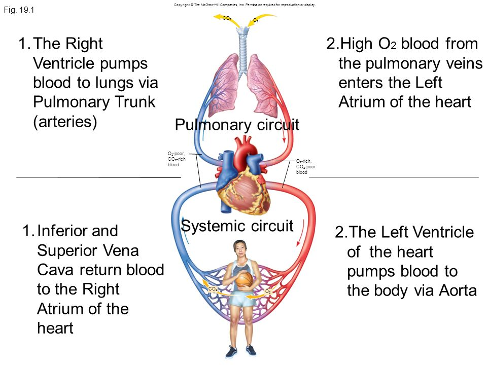 The Left Ventricle of the heart pumps blood to the body via Aorta
