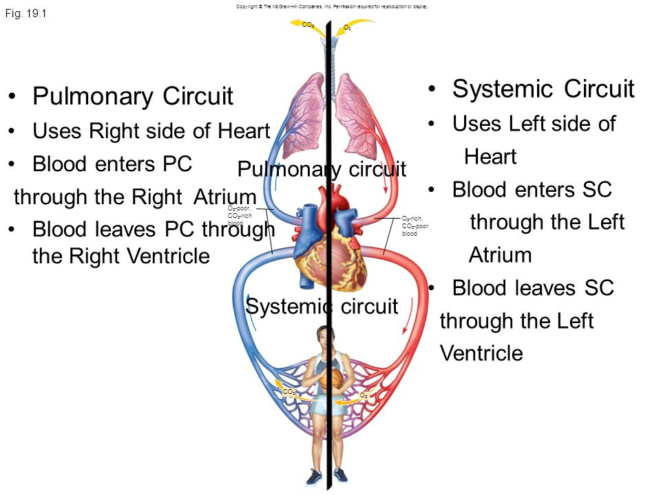 Systemic Circuit Pulmonary Circuit Uses Left side of
