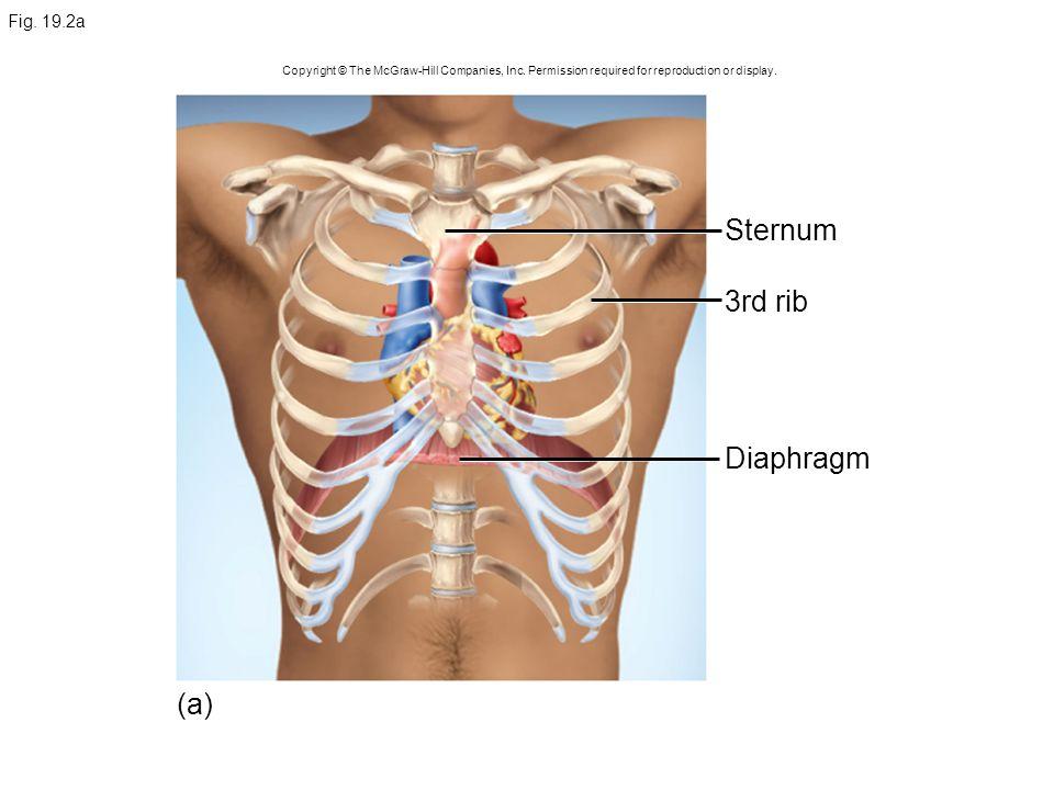 Sternum 3rd rib Diaphragm (a) Fig. 19.2a