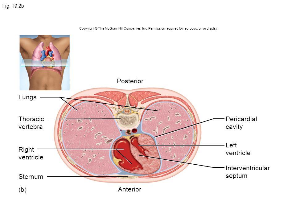 Posterior Lungs Thoracic vertebra Pericardial cavity Left ventricle