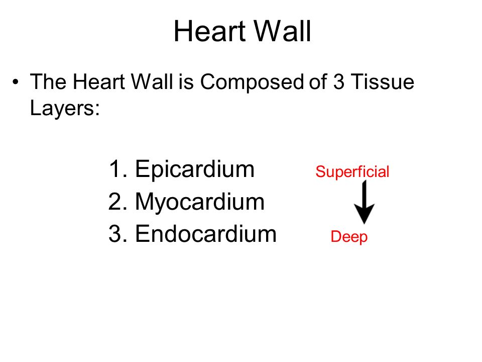 Heart Wall Epicardium Superficial Myocardium Endocardium Deep