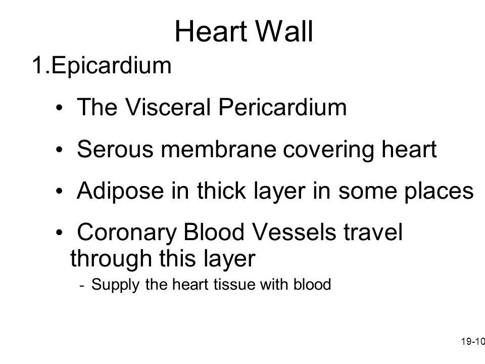 Heart Wall Epicardium The Visceral Pericardium