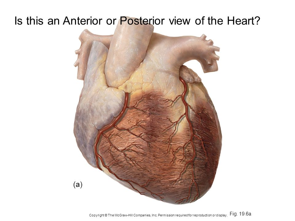 Is this an Anterior or Posterior view of the Heart