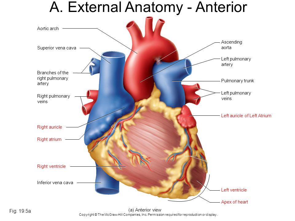 A. External Anatomy - Anterior