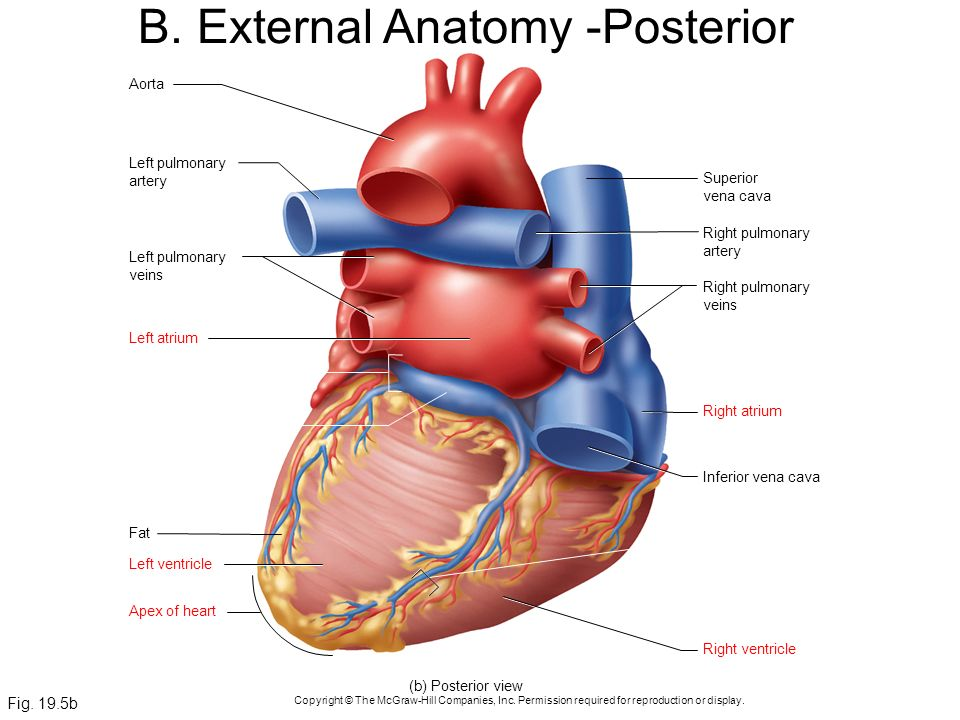 Chapter 19 the circulatory system the heart ppt download b external anatomy posterior ccuart Gallery