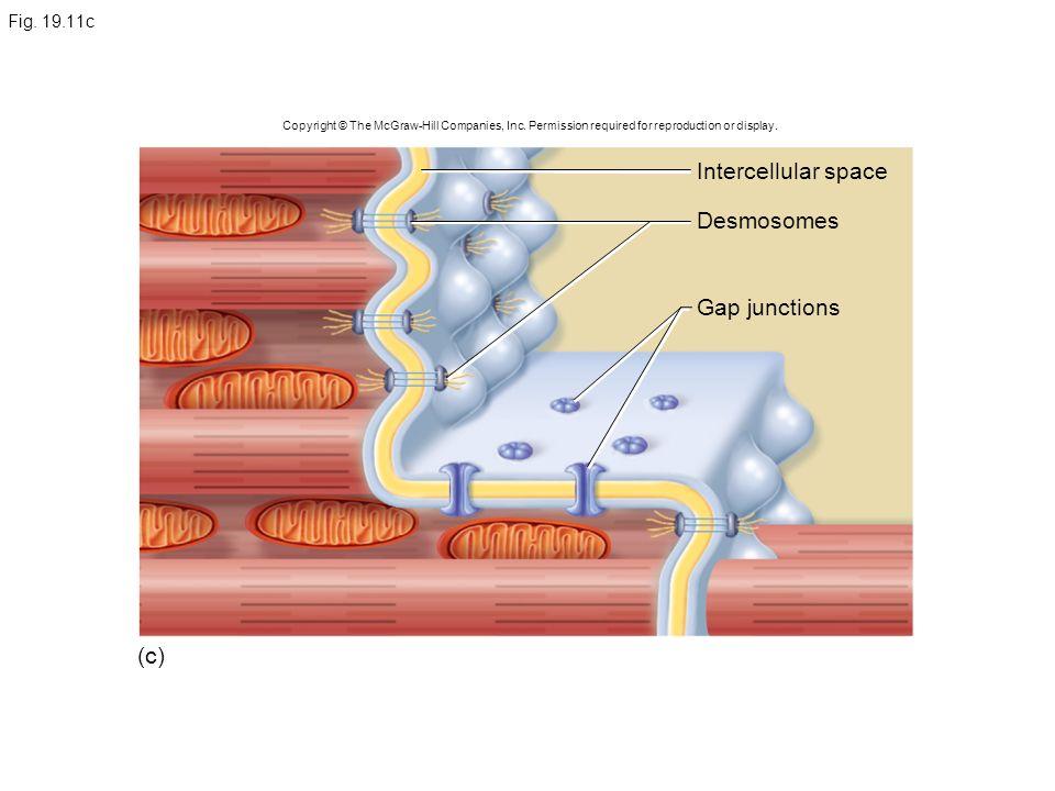 Intercellular space Desmosomes Gap junctions (c) Fig. 19.11c